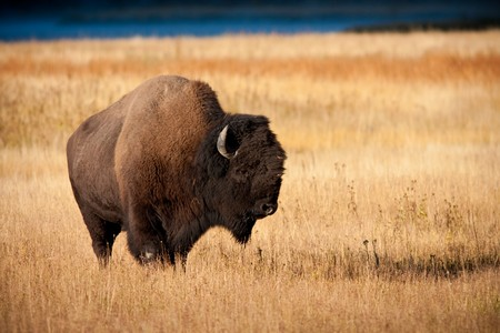 Bison during Fall