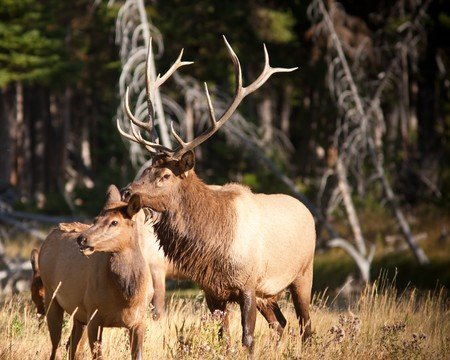 Bull Elk during Fall Фото со стока