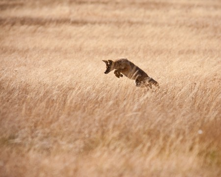 Coyote hunting during fall season