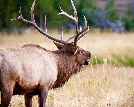 alce: Bull Elk bugling durante la caduta Archivio Fotografico