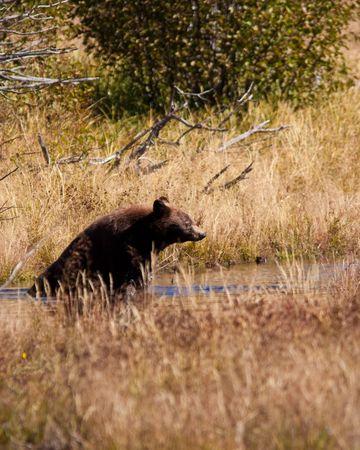 bear paw: Cinnamon Black Bear