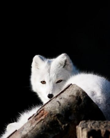 Arctic Fox Banco de Imagens - 8100030
