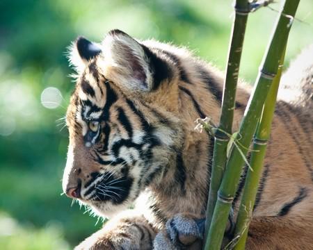 Tiger cub Stock Photo - 8100034