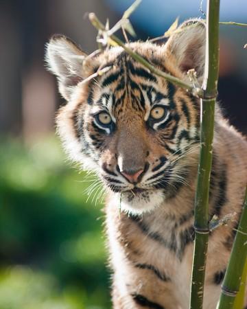 Tiger cub Фото со стока