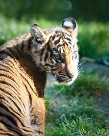 Tiger cub Stock Photo - 8099611