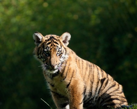 Tiger cub Stock Photo - 8159218