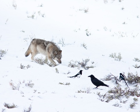 on gray: Gray wolf during winter in Yellowstone