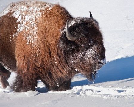 Bison during winter