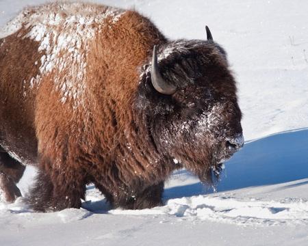 Bison tijdens de winter Stockfoto