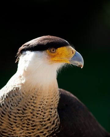 crested: Crested Caracara