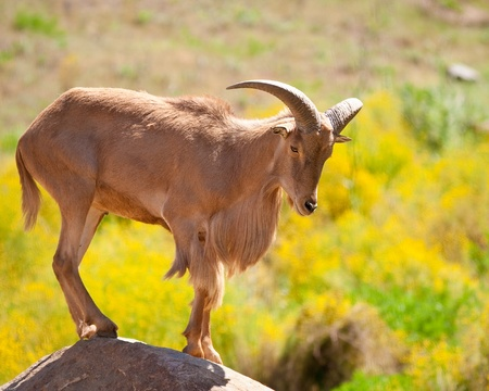 Barbary sheep standing on a rock in captivity at a zoo Imagens
