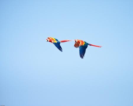 Macaws vliegen met een blauwe hemel als achtergrond