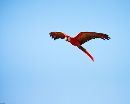 guacamayo: Guacamayo volando con un cielo azul como fondo Foto de archivo