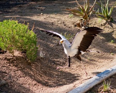 captivity: Secretary bird in captivity running and flying Stock Photo