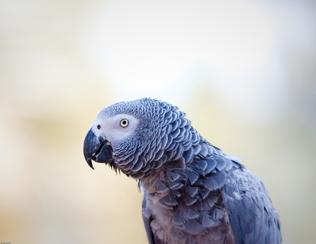 African grey parrot in captivity Stock Photo - 9402738
