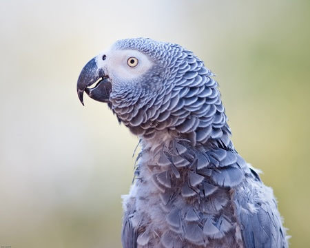African grey parrot in captivity photo