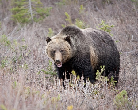 Grizzly bear in Banff national park Reklamní fotografie