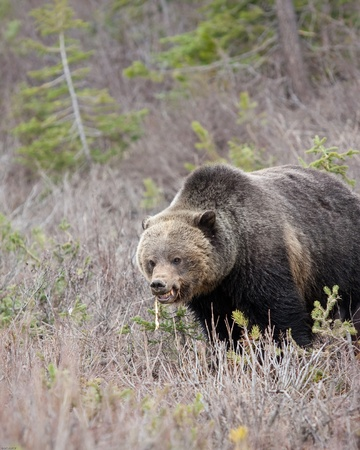 Grizzly bear in Banff national park Stock Photo