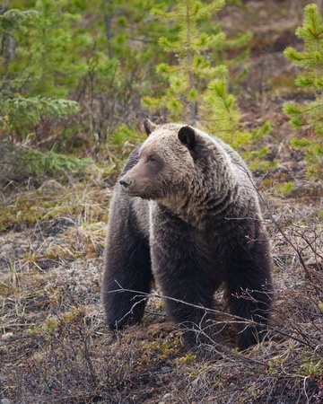 Grizzly bear in Banff national park Banque d'images