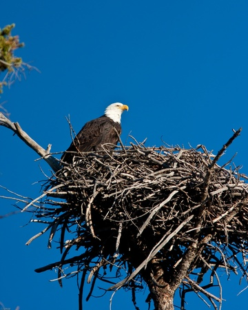 Bald eagle perch on is nest Banco de Imagens - 10928979