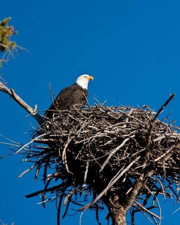 halcones: Perca �guila calva en es nido Foto de archivo