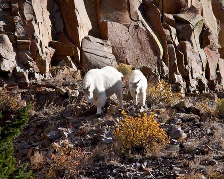 mountain goats: capre di montagna durante l'autunno nel parco di Yellowstone