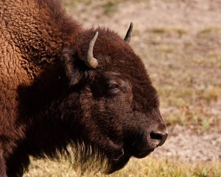 Close up of a bison  during fall in Yellowstone park photo