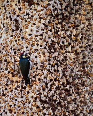 Acorn Woodpecker on a tree in California