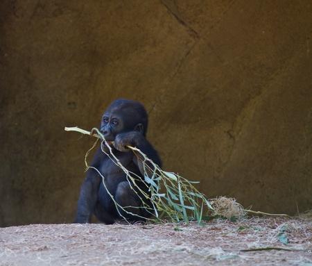 Baby Gorilla in captivity at a zoo Stock Photo