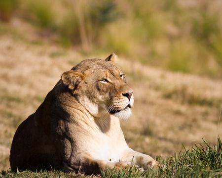 Lioness in captivity t a zoo Stock fotó