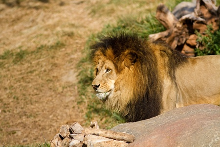 Lion in captivity at a zoo