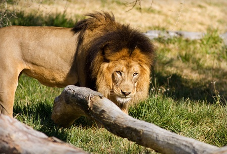 panthera leo: Lion in captivity at a zoo