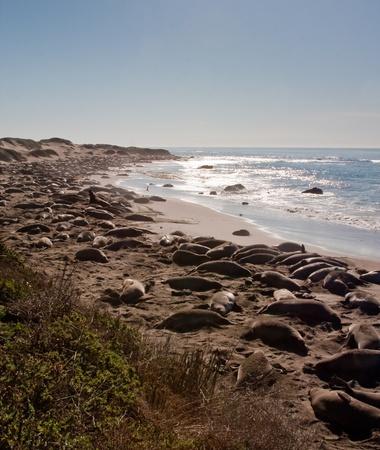 Elephant Seals during their breeding season on the California coast Stok Fotoğraf