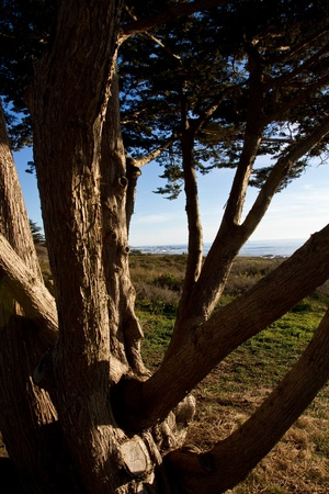 Close up of a tree with the californian coast in background 版權商用圖片