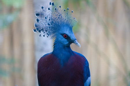 Close up of a Victoria Crowned pigeon Stock Photo - 12665661