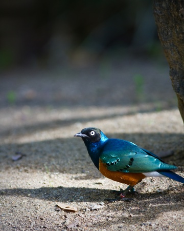 superb: Superb Starling in captivity at a zoo