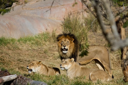 Pride of lions in the sun Stock fotó
