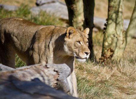 Lioness in captivity walking slowly Stock fotó