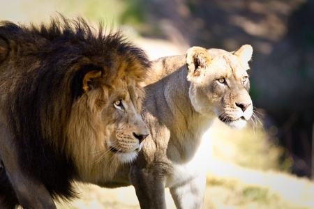Lion and lioness looking at something father away