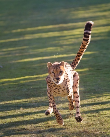 Cheetah in captivity running at fool speed