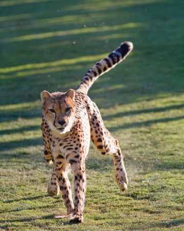 guepardo: Cheetah en cautiverio corriendo a toda velocidad tonto Foto de archivo