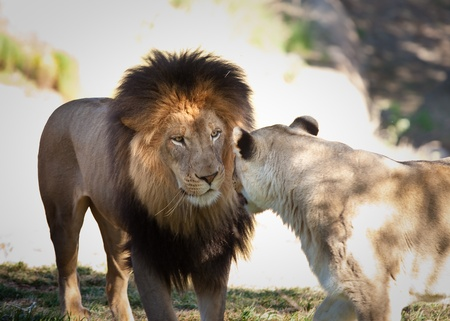 Lion and lioness looking at each other photo
