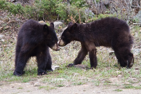 Older black bear cubs early spring in Yellowstone Stock Photo