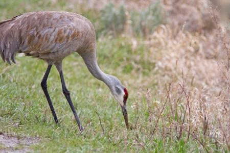 sandhill crane: Sandhill crane early spring in Yellowstone national park