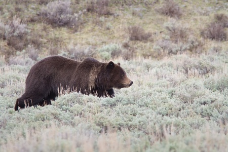 Grizzly bear walking early spring in Lamar valley at Yellowstone
