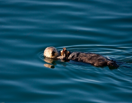 sea otter: Sea Otter eating a crab in Morro Bay