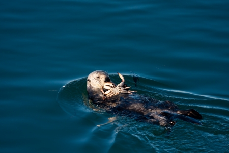 Sea Otter eating a crab in Morro Bay Banco de Imagens - 14023980