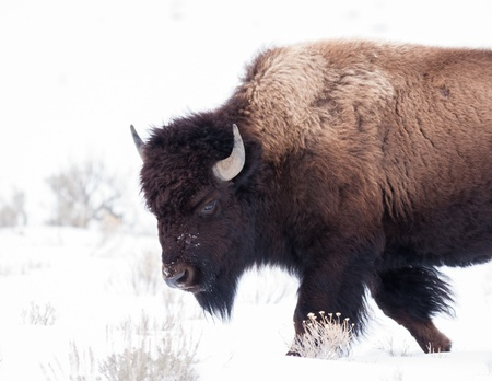 Bison during winter in Yellowstone photo