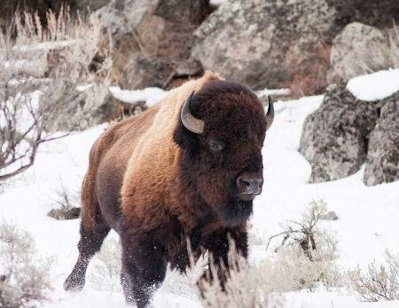 Bison running during winter in Yellowstone photo