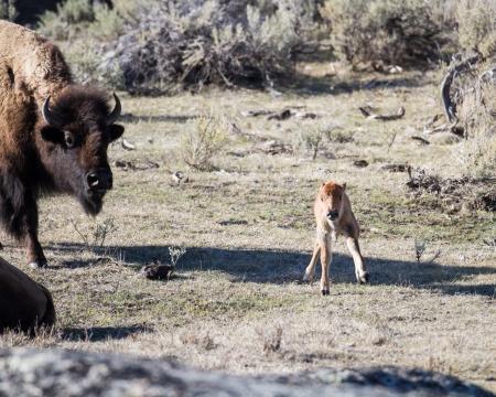 Newborn bison calf taking his first steps